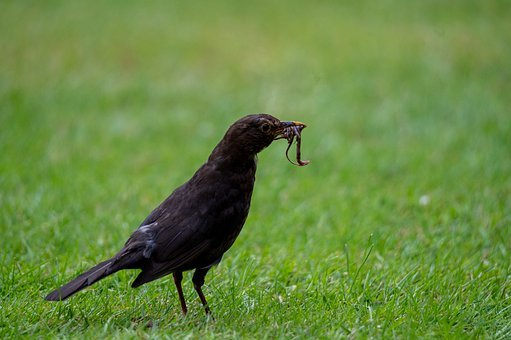 Bird, Worm, Blackbird, Animal, Bill, Plumage, Feather