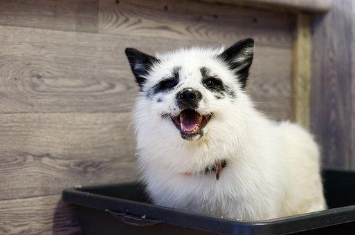 White Fox, Fox, Animal, Mammal, Predator, Domestic Fox