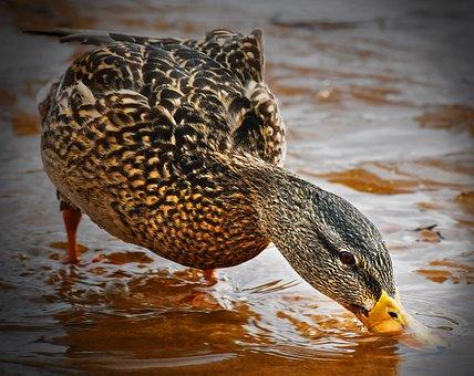 And, Mallard, Duck, Female, Water, Drink, Re, Bird