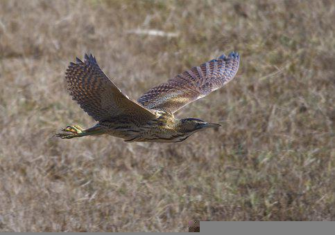 Heron, Bittern, Bird, Reeds, Marsh, Star, Panel, Wader