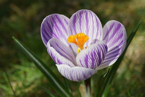 Crocus, Flower, Plant, Petals, Colorful Crocus, Bloom