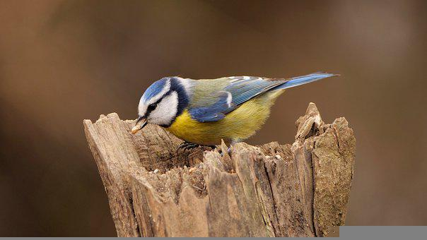 Bird, Blue Tit, Tit, Colored, Cute, Plumage, Pecks