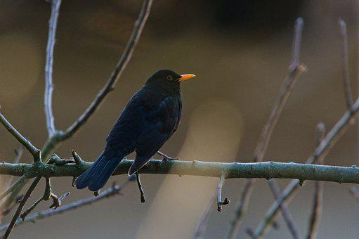 Blackbird, Branches, Bird, Perched, Perched Bird
