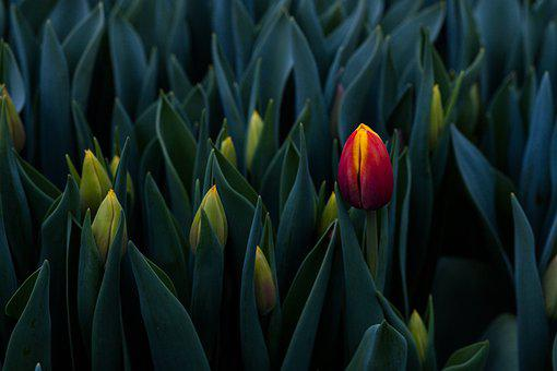 Tulips, Flowers, Plants, Buds, Leaves, Beautiful