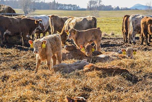 Cows, Calf, Farm, Animal, Scot, Agriculture, Grass