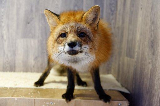Red Fox, Fox, Animal, Mammal, Predator, Domestic Fox
