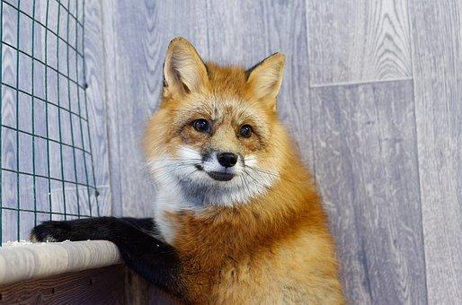 Fox, Red Fox, Predator, Nature, Domestic Fox, Fauna