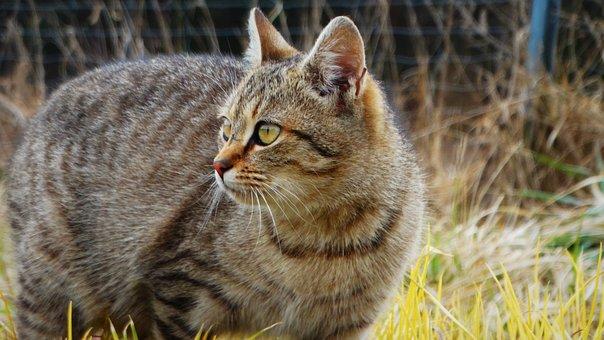 Cat, Kitten, Animals, Pet, Cute, Domestic Cat, Eyes
