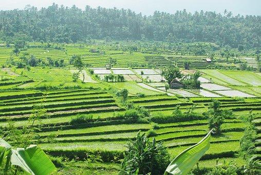 Rice Fields, Farm, Paddies, Rice Paddies, Rice Terraces