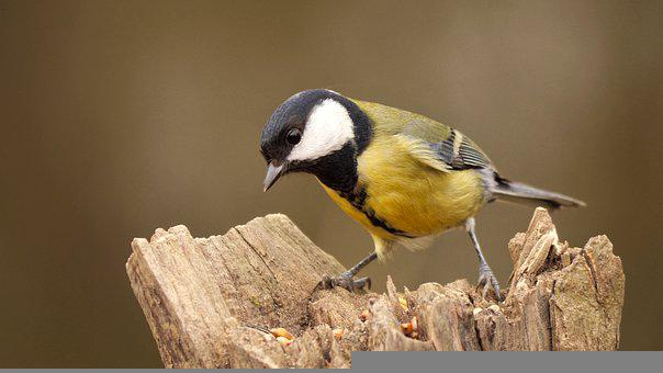 Great Tit, Tit, Bird, Perched, Small Bird, Feathers