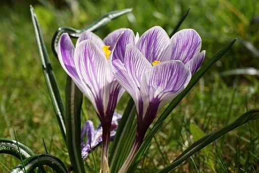 Saffron, Krokus, Flower, Plant, The Petals