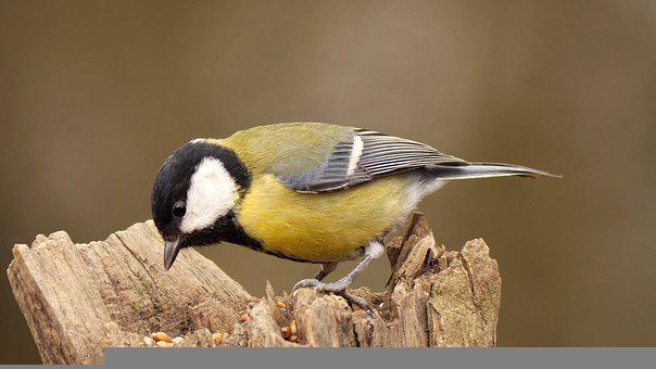 Great Tit, Tit, Foraging, Bird, Small Bird, Feathers