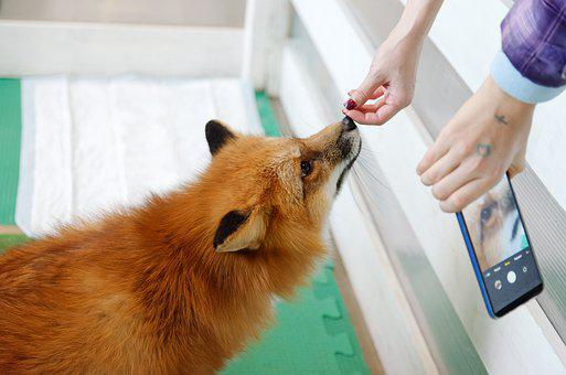 Fox, Animal, Pet, Smile, Predator, Red Fox, Nature