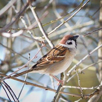 Sparrow, Passer Montanus, Garden, Spring, Happy