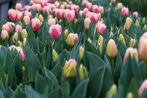 Tulip, Flower, Spring, Pink, Tulips, Nature, Garden