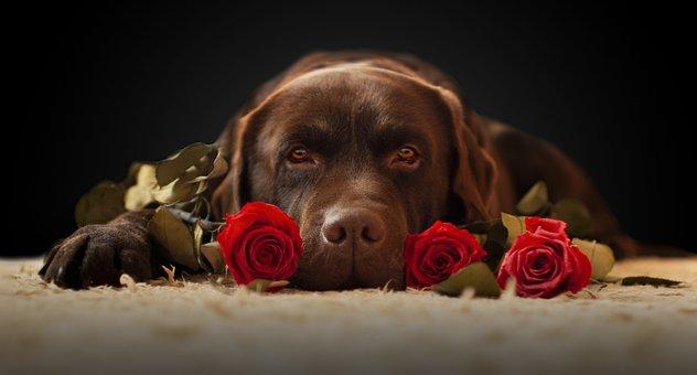 Labrador, Dog, Roses, Labrador Retriever