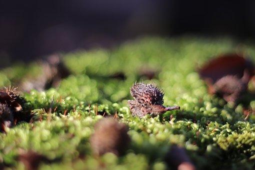 Chestnut, Moss, Forest, Nature, Autumn, Environment