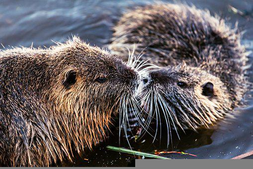 Nutria, Beaver, Rodent, Animal World, Muskrat, Mammal