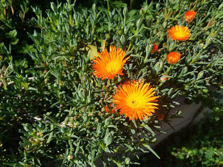 Backyard Flower, Garden Flower, Orange Flower