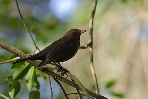Blackbird, Turdus Merula, Bird, Perched, Branches