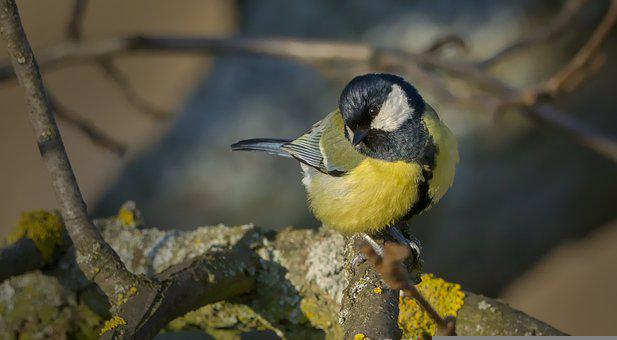 Tit, Bird, Perched, Perched Bird, Nature, Animal