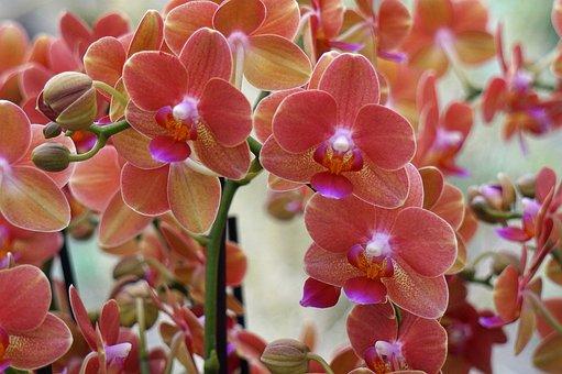 Orchids, Pink, Flowers, Pink Orchids, Pink Flowers