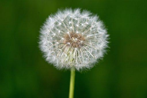 Dandelion, Seed Head, Seeds, Blowball, Fluffy, Plant