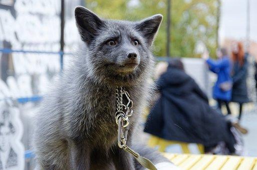 Fox, Pearl Fox, Predator, Animal, Nature, Cute, Mammal