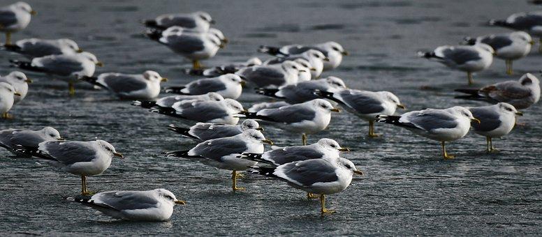 Gull, Seagulls, Trut, Gulls, Bird, Flock, Birds, Sleep