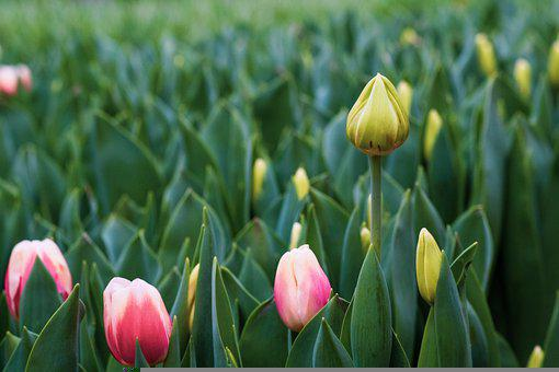 Tulips, Flowers, Plants, Spring, Buds, Flora, Bloom