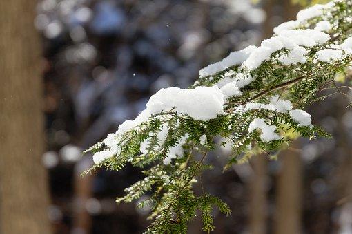 Evergreen, Winter, Snow, Spruce, Branch, Frost, Conifer