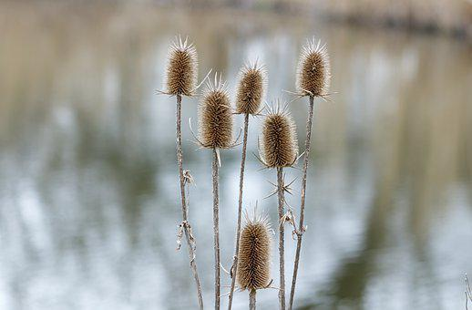 Stalk, Crop, Stem, Field, Wildflower, Dry, Botany