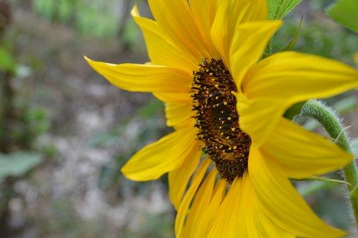 Sunflower, Petals, Plant, Leaves, Bloom, Flora