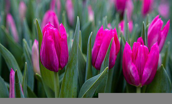 Tulips, Pink, Flowers, Frühlingsanfang, Tenderness
