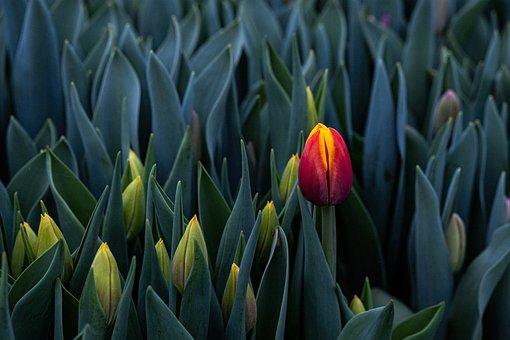 Tulip, Beautiful, Pink, Scarlet, Spring, Blooms