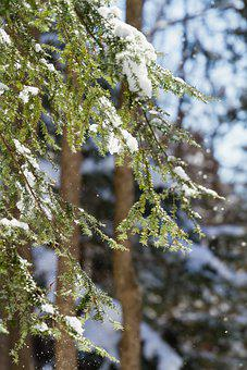 Evergreen, Snow, Leaves, Foliage, Snowy, Wintry, Frost
