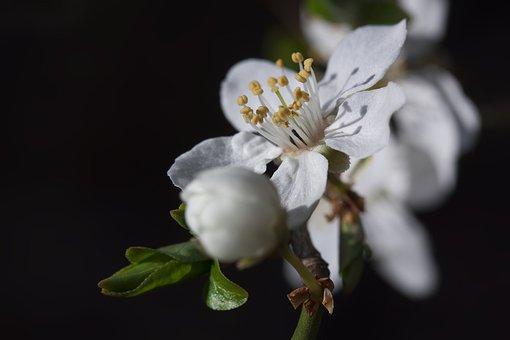 Mirabelle, Blossom, Bloom, Bud, White