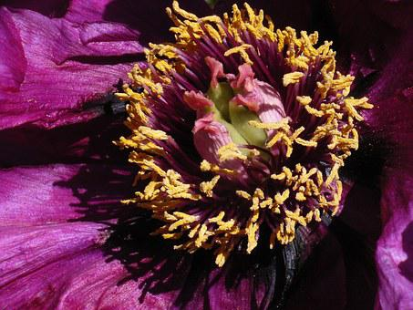 Blossom, Bloom, Peony, Purple, Macro, Close, Clematis