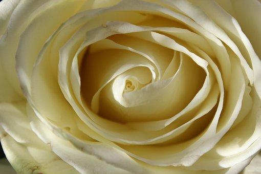 White Rose, Blossom, Bloom, Flower, Tender, Close