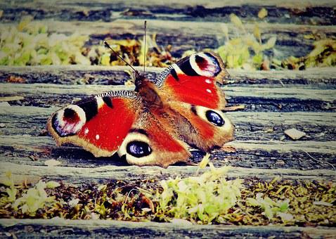 Butterfly, Color, Nature, Bug, Eye, Peacock, Animal