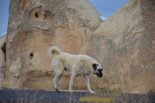 Dog, Dogs, Animal, Kangal, Rock, Road, Winter, Landmark