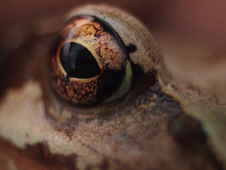 Eye, Frog, Detail, View