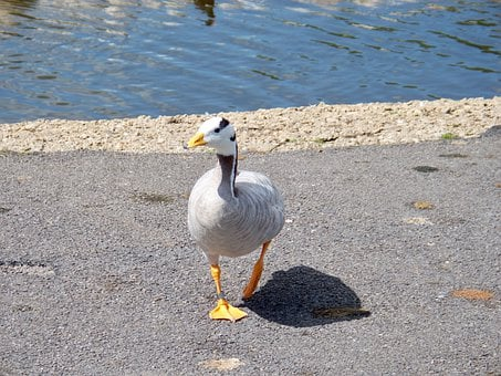 Bar-headed Goose, Goose, Anser Indicus