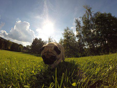 Dog, Pug, Sun, Meadow, Sunbeam, Pet, Lap Dog, Small Dog