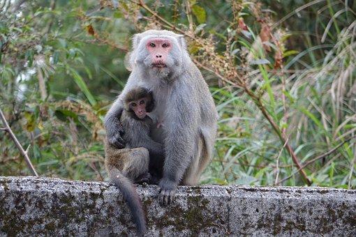 Monkey, Taiwan Wild Monkeys, Mother And Son