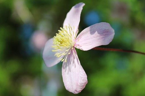 Mountain-waldrebe, Clematis Montana, Clematis, Blossom