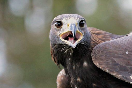 Golden Eagle, Eagle, Golden, Bird, Nature, Animal
