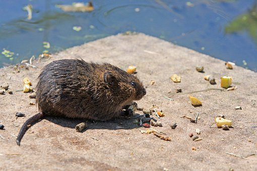Rat, Water Rate, Rodent, Pest, Nature, Food, Eat