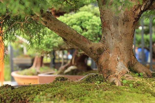 Tree, Bonsai, Garden, Trunk, Nature, Green