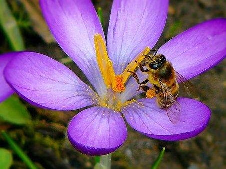 Crocus, Flowers, Flower, Bee, Insect, Pollen, Nectar